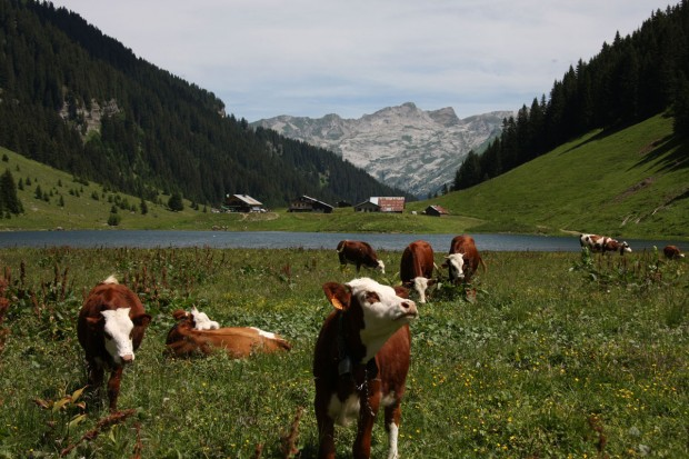 Cheeky Cow at Lac de Gers, France