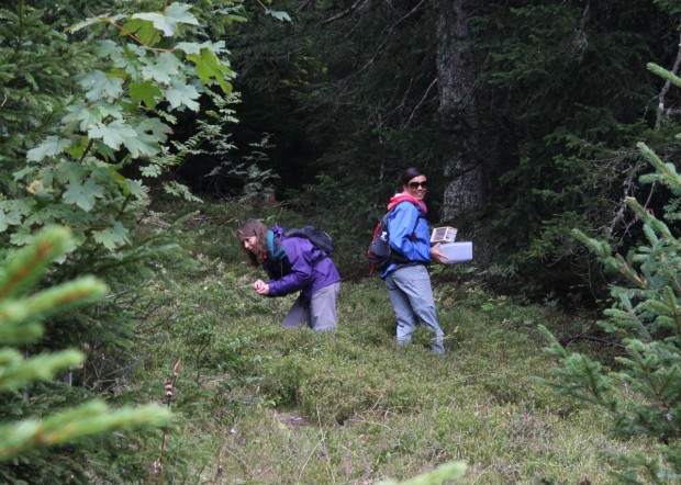 Myrtille picking, Samoëns, France